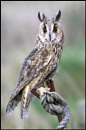 Long Eared Owl by f8