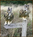 Two Eagle Owls by f8