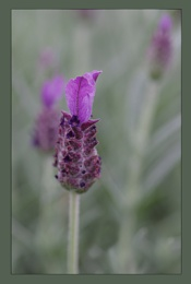 Last Wisps of Lavender