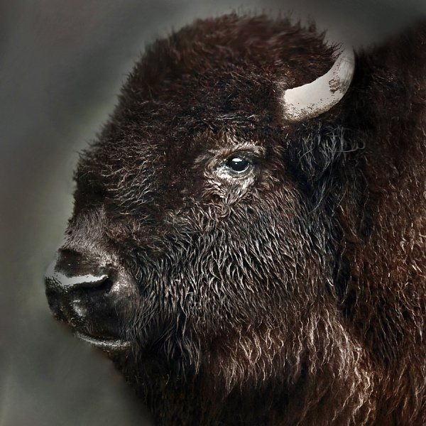 Portrait of a Bison by Devon_Wild
