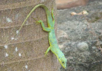 Granadian Lizard