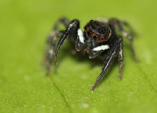Jumpin spider (Pellenes nigrociliatus) by bhavya