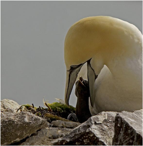 Gannet chicks first feed by hibbz