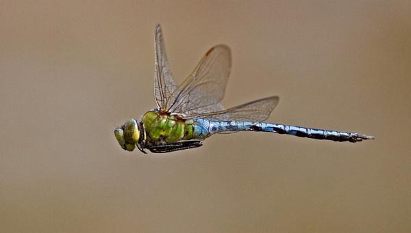 Emperor Dragonfly by hibbz