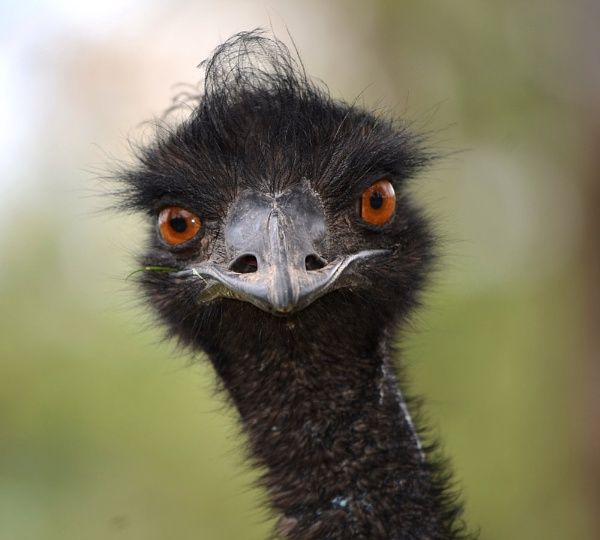 Are you looking at??  EMU by sooty_59