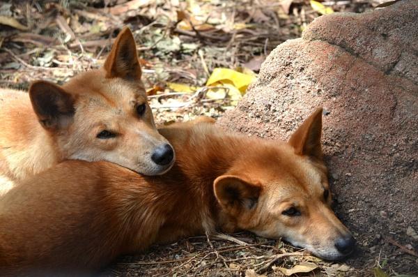 dingo`s  mmmm looks like a mutt ;-) by sooty_59