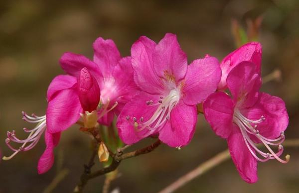 Pink Azalea by GedC