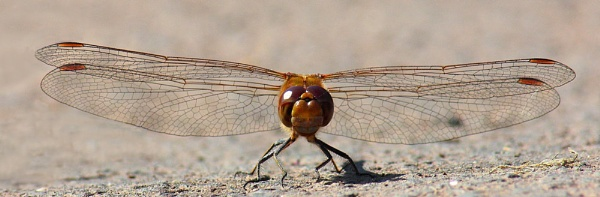 Common Darter (Sympetrum striolatum) Male by PWellsPIC5