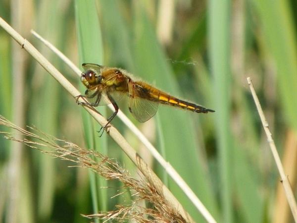 Dragonfly by CherWass