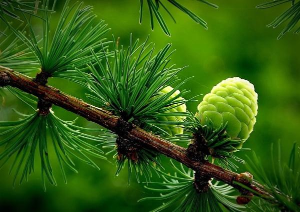 Pine cones by nazimundo