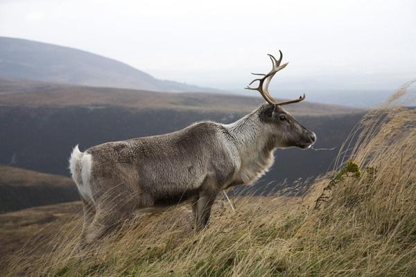Reindeer by UKmac