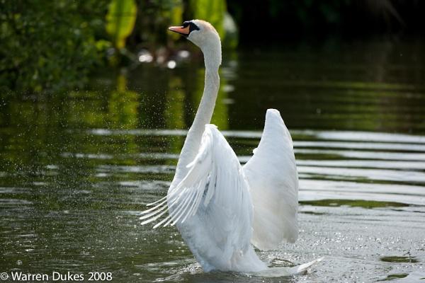 Mute Swan walking on water by Blackdog
