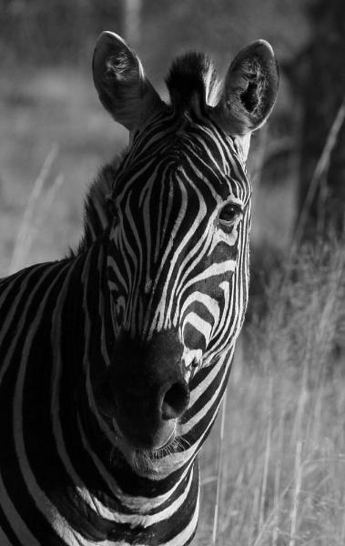 Zebra by P181
