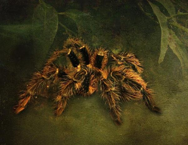 Tarantula by gingerdelight