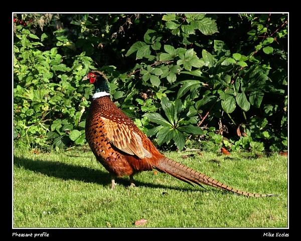 Pheasant profile by oldgreyheron