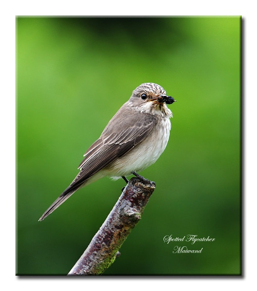 Spotted Flycatcher by Maiwand