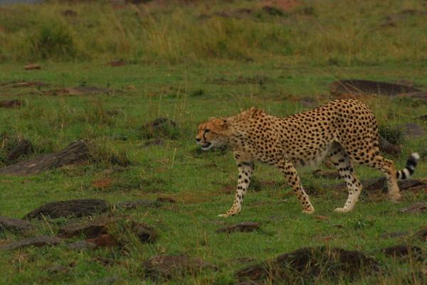 Cheetah by HP1485