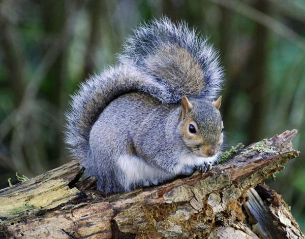squirrel by chocky