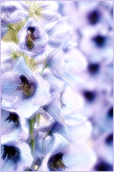 Delphiniums abstract by posty57