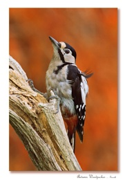 Autumn Woodpecker