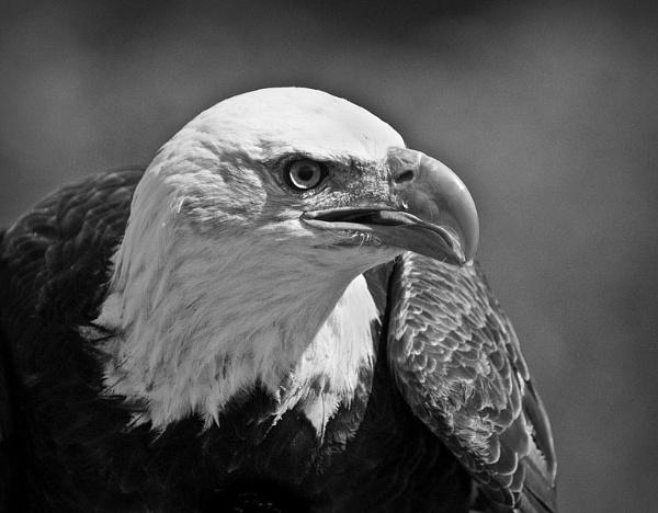 Bald Eagle by wavey
