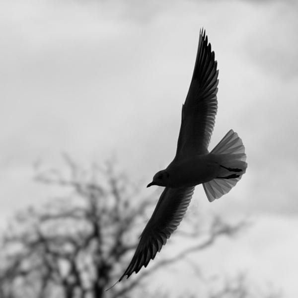 Little Gull in flight by foz