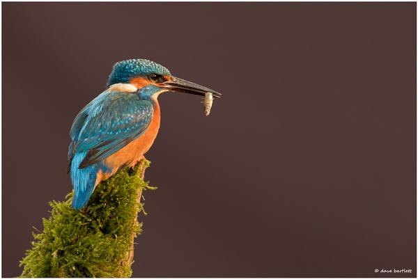 Kingfisher with stickleback by DaveBartlett