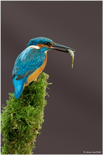 Kingfisher with catch by DaveBartlett
