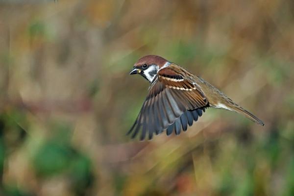 Treev Sparrow in flight by trev4