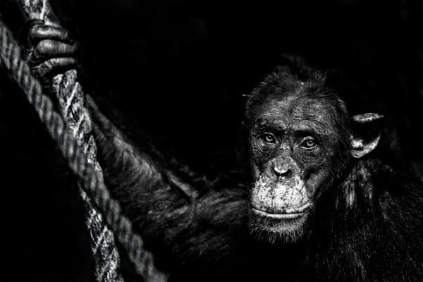 Chimpanzee by cat001