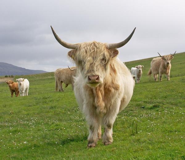 Blonde Highland Cow by Sasanach