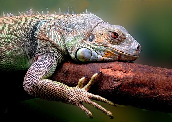 Lizard by TONKSPHOTO