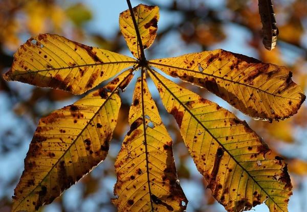 Horse chestnut in autumn. by Steve2rhino