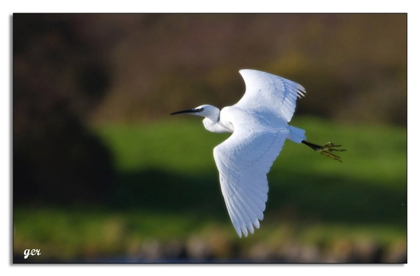 egret in flight by yaco