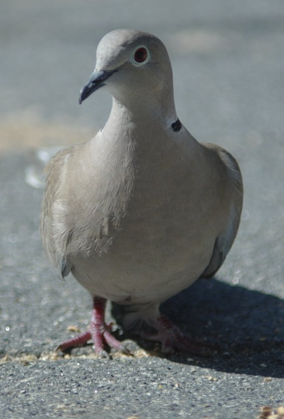 Collared Dove by Gregoir