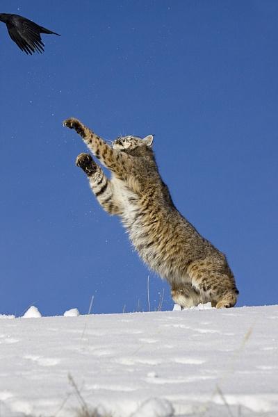Bobcat just missing bird by hibbz