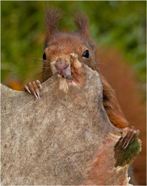 Red Squirrel gnawing on deer antlers by hibbz