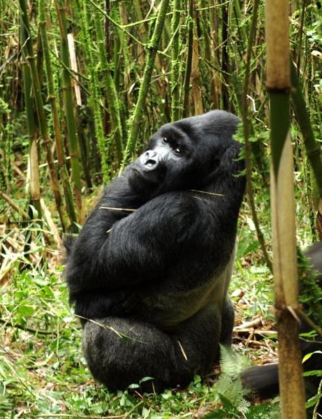 Rwandan Silverback by JuBarney