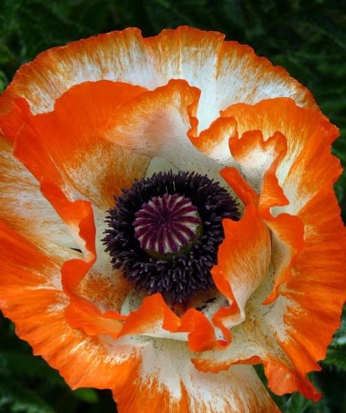 Spectacular Poppy by dixy