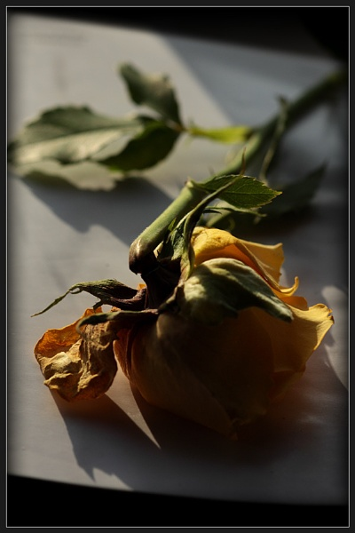 Yellow Rose by Morpyre