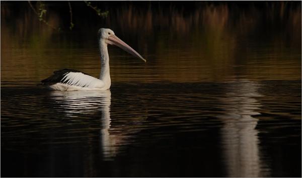 Dam Pelican by goso