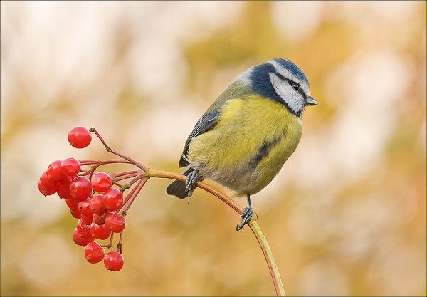 Blue Tit n Berries by Platchet