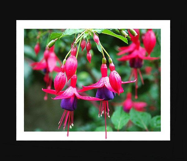 Fuchsias by angiephoto