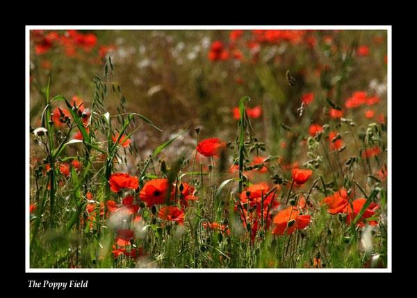 The Poppy Field by eonisuk
