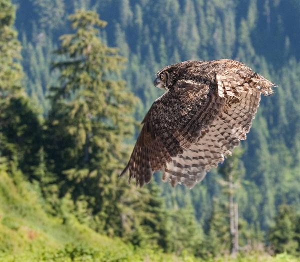 Eagle owl by wavey