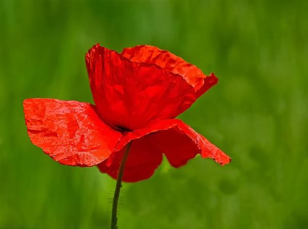 Poppy (Remember) by GaryMoffat