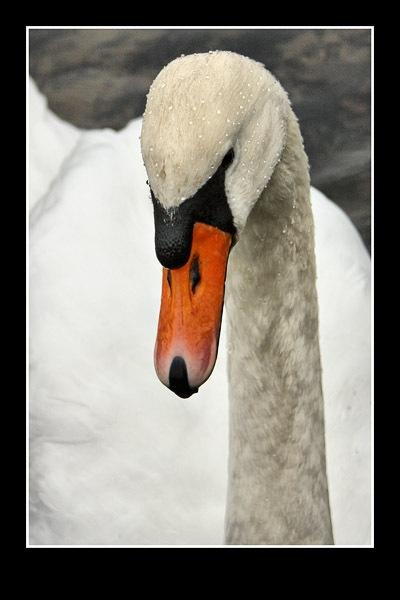 Swan by swanseamale47