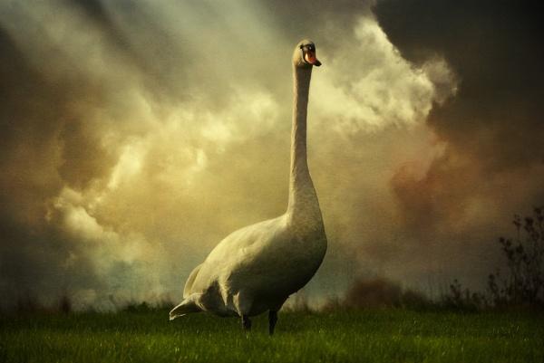 Swan Scene by Audran