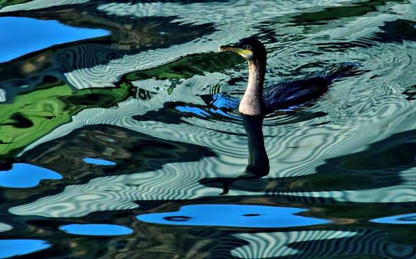 Cormorant by Sasanach