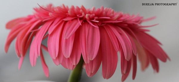 pink beauty by Dureja